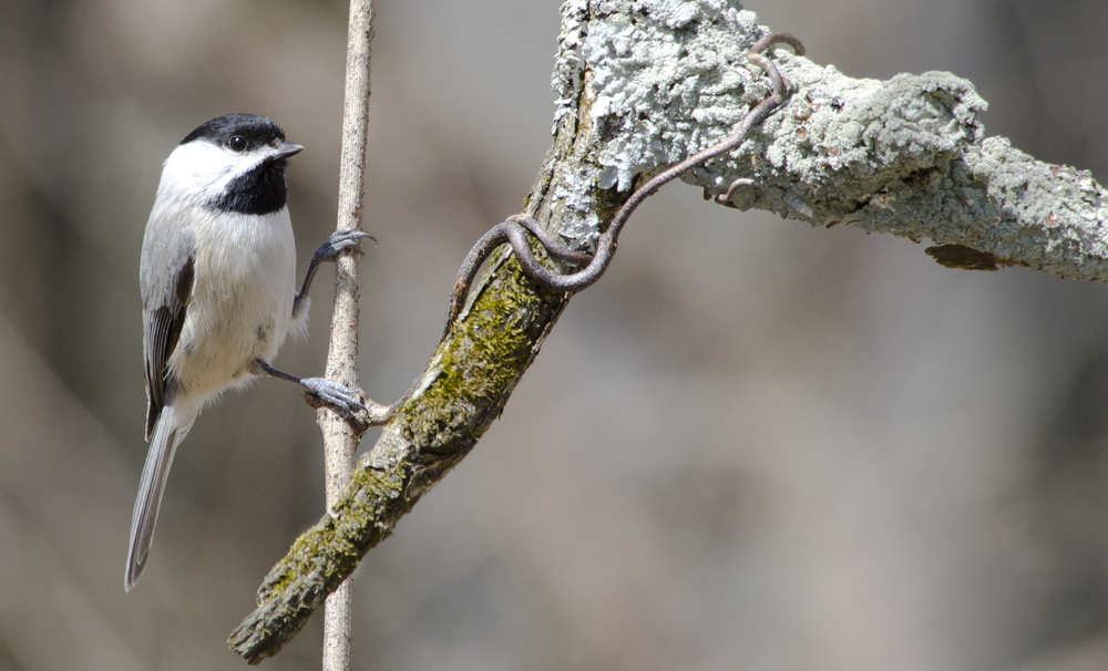 Robb Nickel - Carolina Chickadee