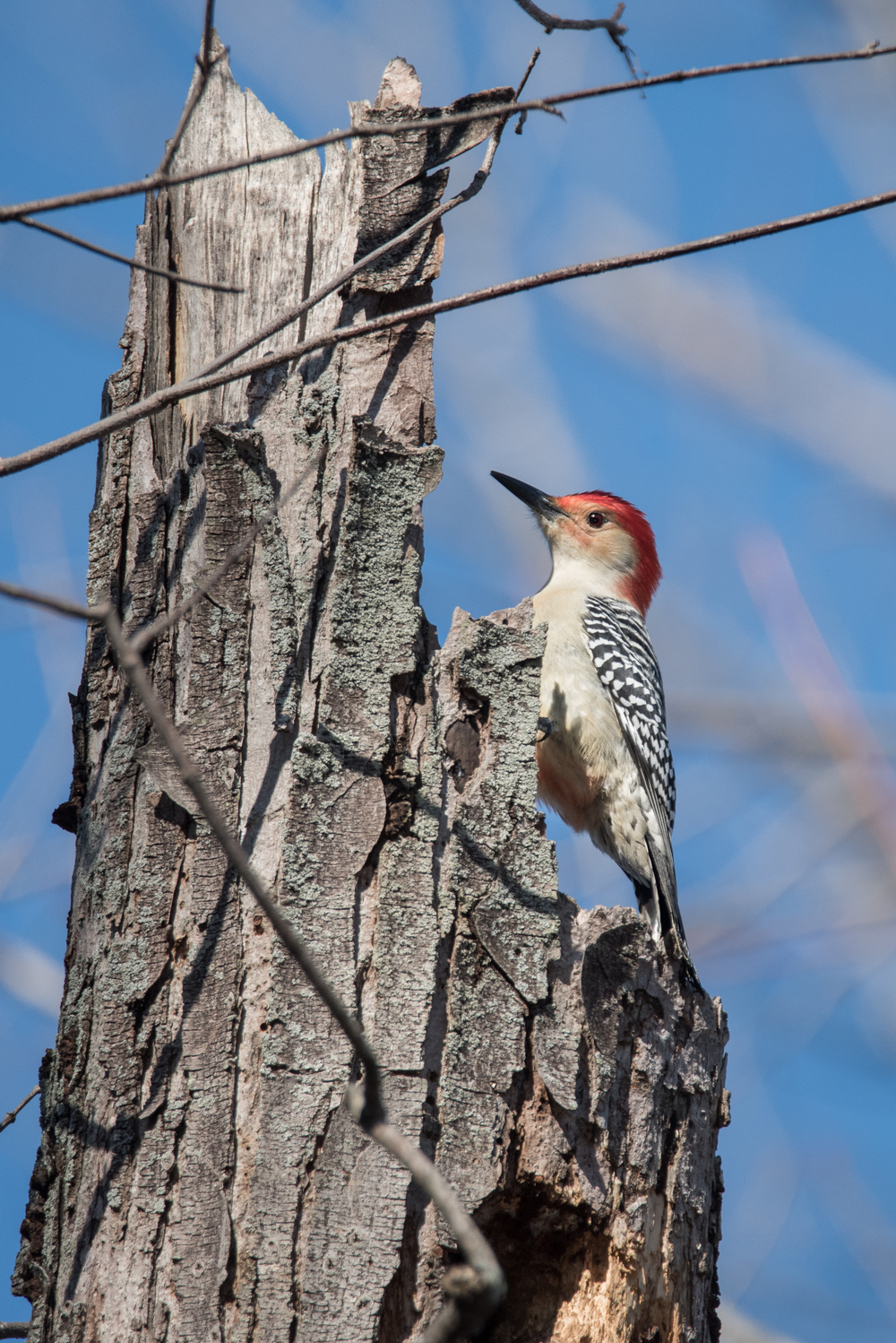 Red-Bellied Woodpecker  Nikon D750 ISO 800 600mm f/7.1 1/1250 sec.