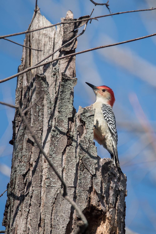 Red-Bellied Woodpecker  Nikon D750 ISO 800 600mm f/7.1 1/1250 sec.