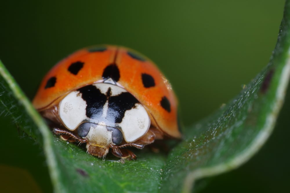 Botanical Ladybug  Vivitar Series 1 105mm F/2.5 Macro, plus Raynox DCR-250 and off-camera diffused Yongnuo YN-560 III flash. Around 2:1 plus a moderate crop. Photo by Pascal Gaudette (Doundounba on Flickr, CC BY-NC-SA 2.0)