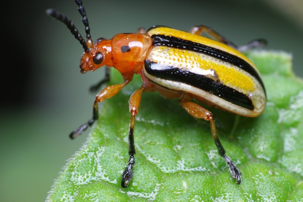 Colorful Wet Beetle  Three-lined Potato Beetle. Vivitar Series 1 105mm F/2.5 Macro plus Raynox DCR-250 and off-camera diffused Yongnuo YN-560 III flash. Photo by Pascal Gaudette (Doundounba on Flickr, CC BY-NC-SA 2.0)