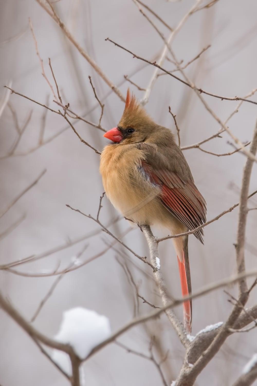 Female Cardinal  ISO 1250 600mm f/8.0 1/1250 sec.