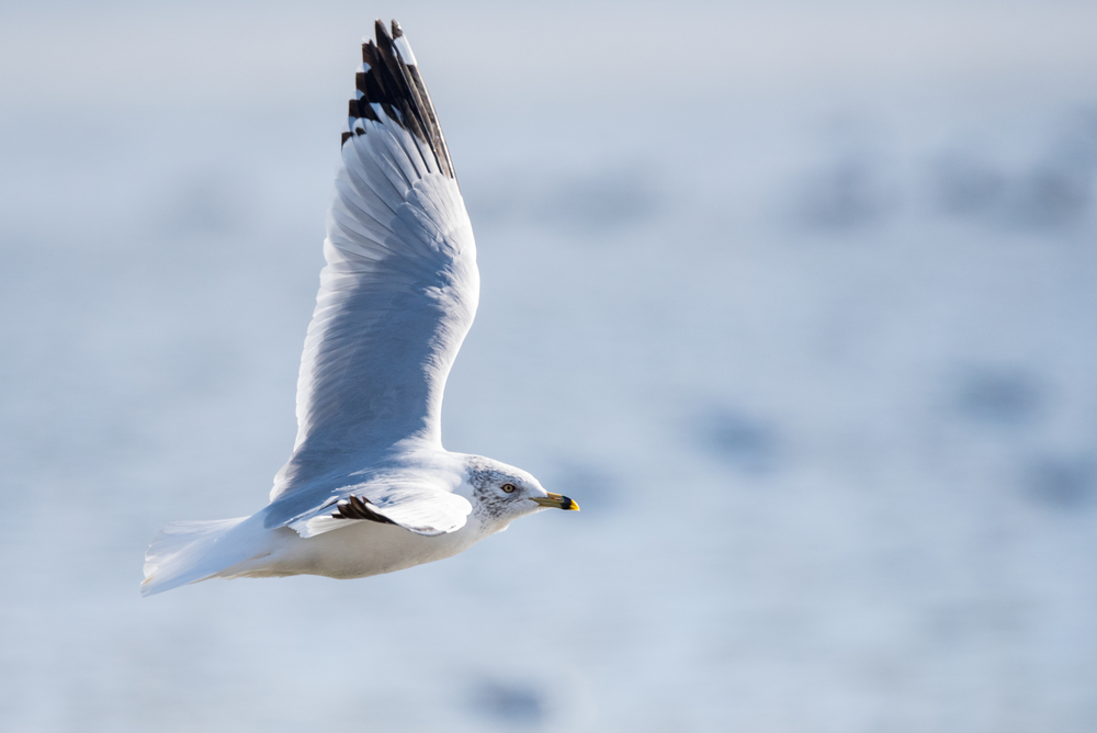 Ring-Billed Gull  Nikon D750 ISO 1000 600mm f/8.0 1/2500 sec.