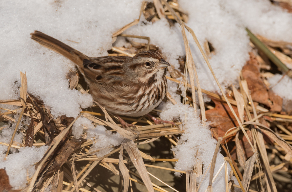Song Sparrow and Snow  Nikon D750 ISO 400 600mm f/8.0 1/1250 sec.