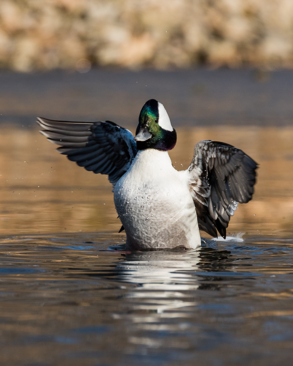 Male Bufflehead  Nikon D750 ISO 640 600mm f/10 1/1250 sec.