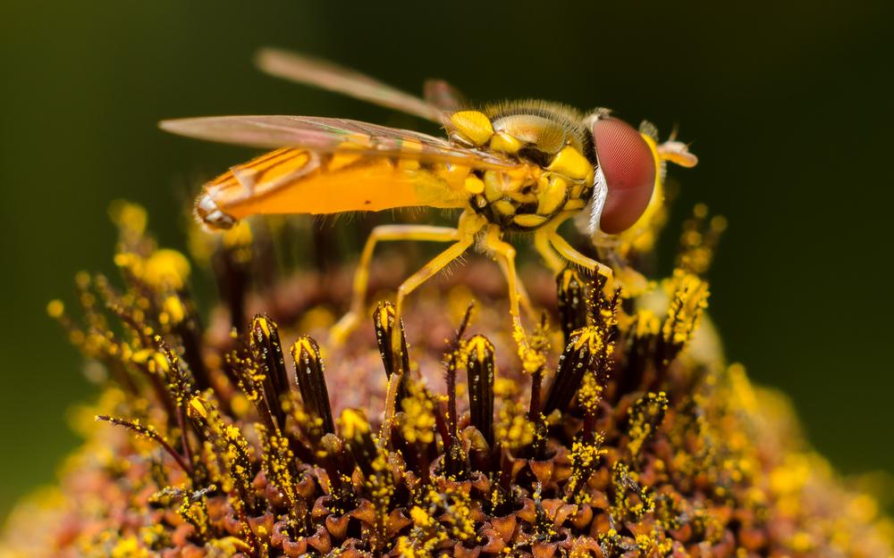 Hoverfly Nº 1