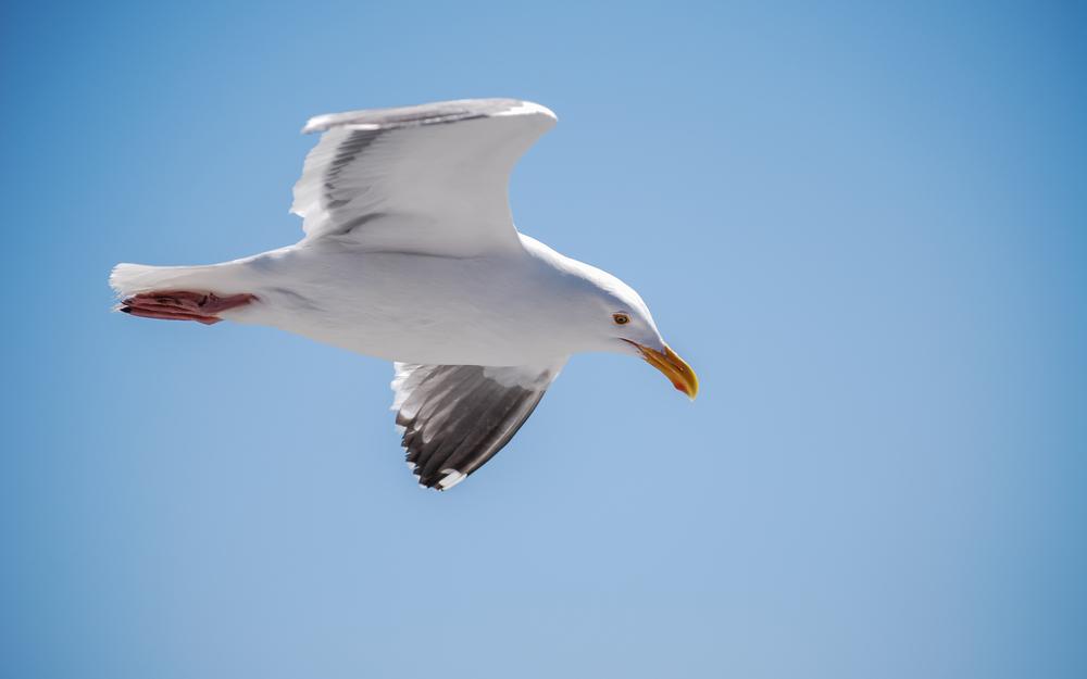 Western Gull Nº 2