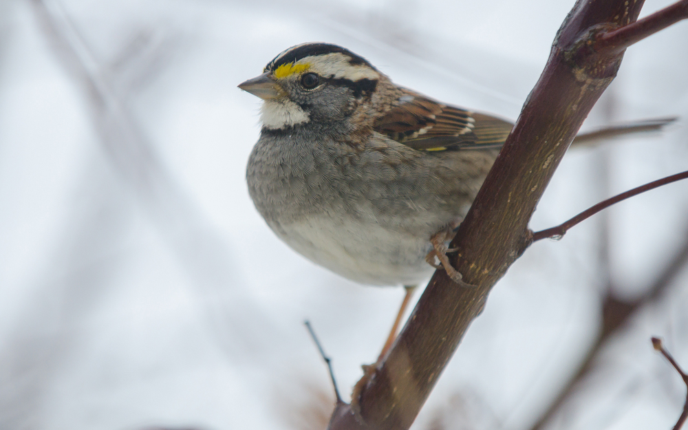 White-Throated Sparrow Nº 2