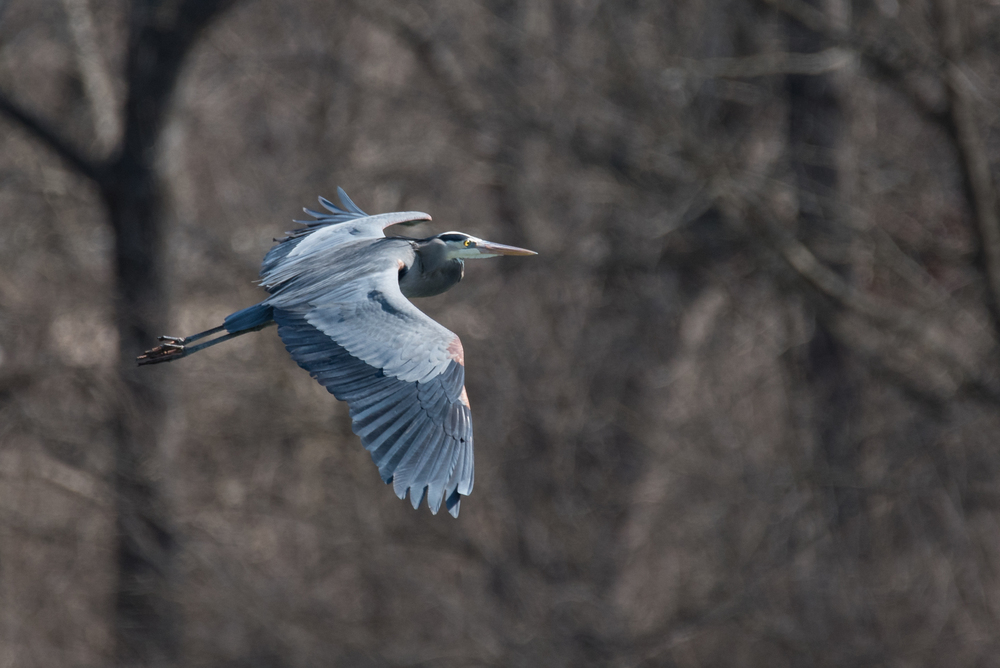 Great Blue Heron  Nikon D750 ISO 400 600mm f/8.0 1/1250