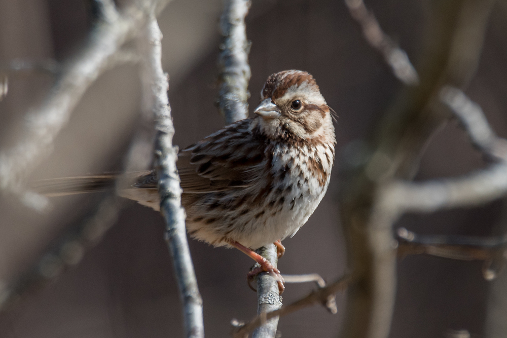 Song Sparrow  Nikon D750 ISO 400 600mm f/8.0 1/1250 sec.
