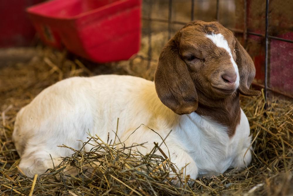 Baby Goat Nikon D750 ISO 1250 85mm f/4.5 1/125 sec.