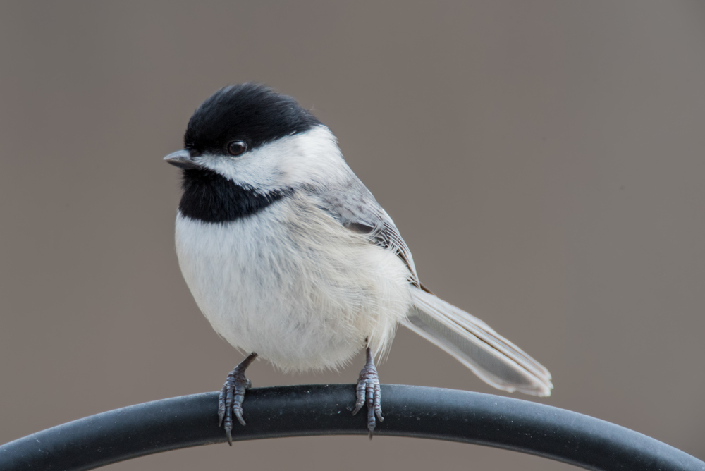 Carolina Chickadee  Nikon D750 ISO 800 1200mm f/9.0 1/400 sec.