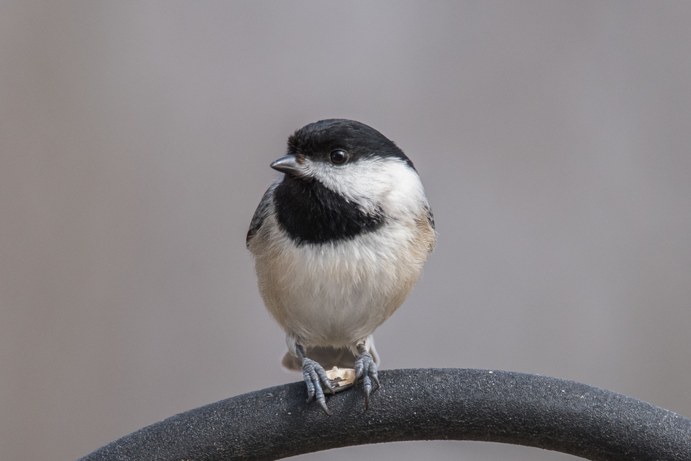 Carolina Chickadee  Nikon D750 ISO 800 600mm f/11 1/400 sec.