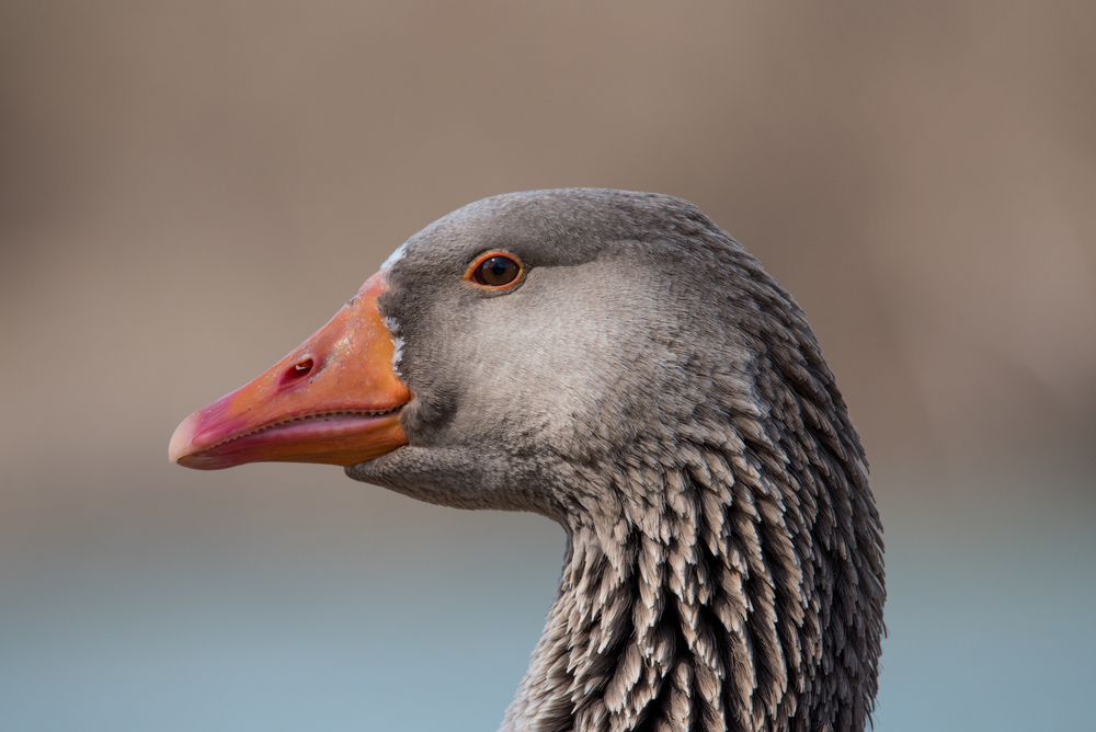 """Gus"" the Greylag Goose  Nikon D750 ISO 500 600 mm f/11 1/1000 sec."