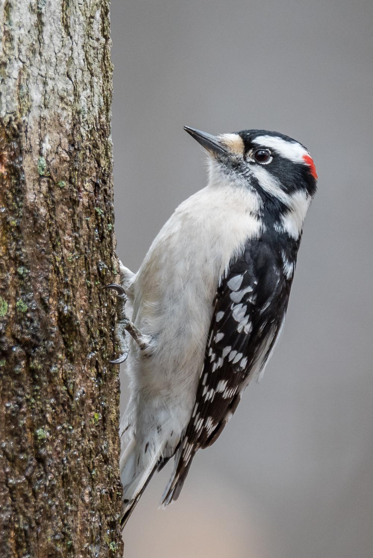 Downy Woodpecker  Nikon D750 ISO 800 600mm f/8.0 1/640 sec.