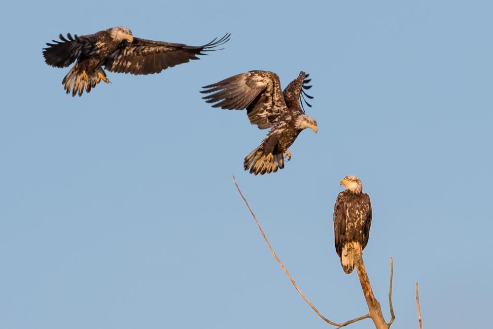 Flight of the Eagle  Nikon D750 ISO 800 600mm f/11 1/1000 sec.