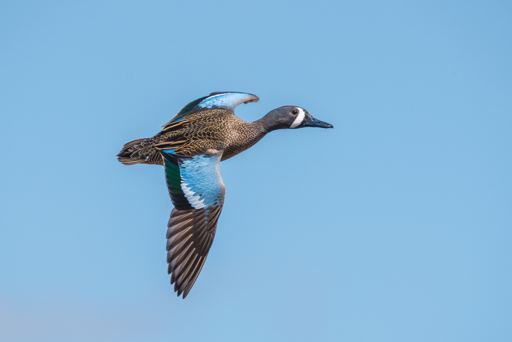 Blue-Winged Teal  Nikon D750 ISO 500 600mm f/11 1/1250 sec.