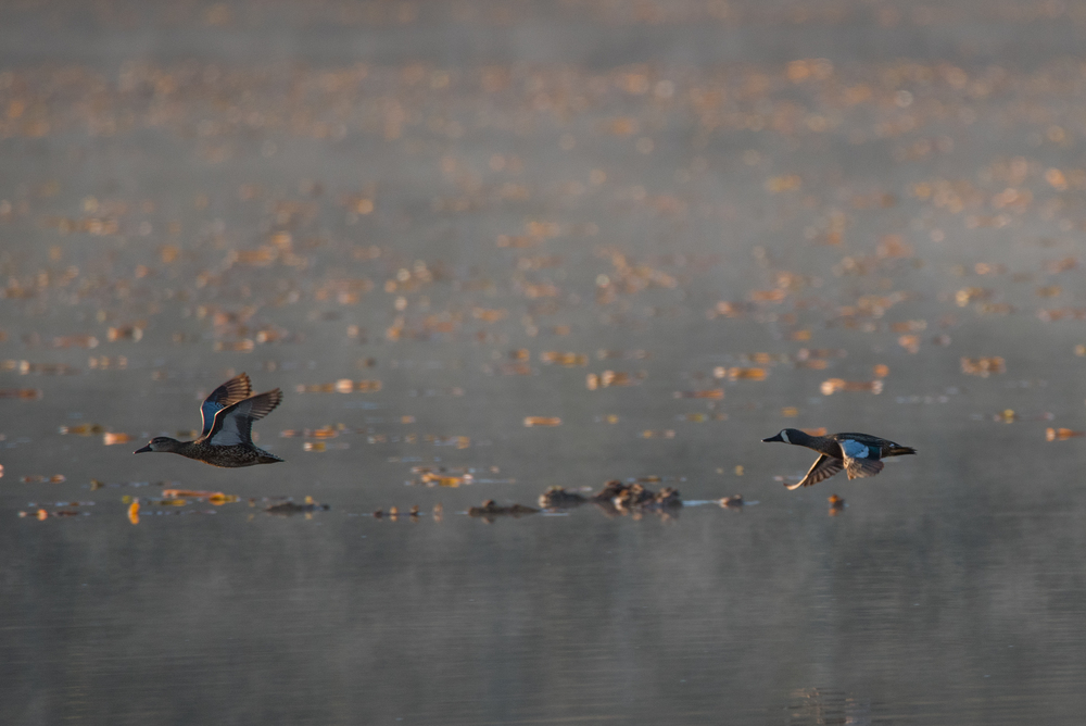 Blue-Winged Teal  Nikon D750 ISO 800 600mm f/10 1/1000 sec.