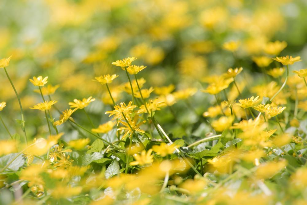 Buttercups at the Narrows  Nikon D750 600mm f/6.3 1/1250 sec.