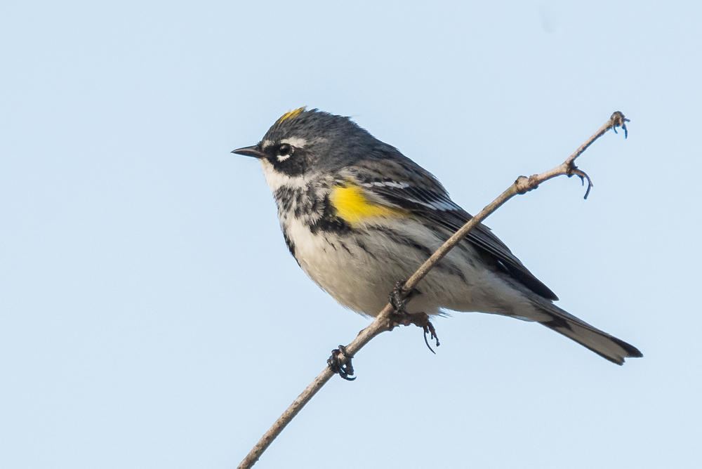 Yellow-Rumped Warbler  Nikond D750 ISO 800 600mm f/9.0 1/500 sec.