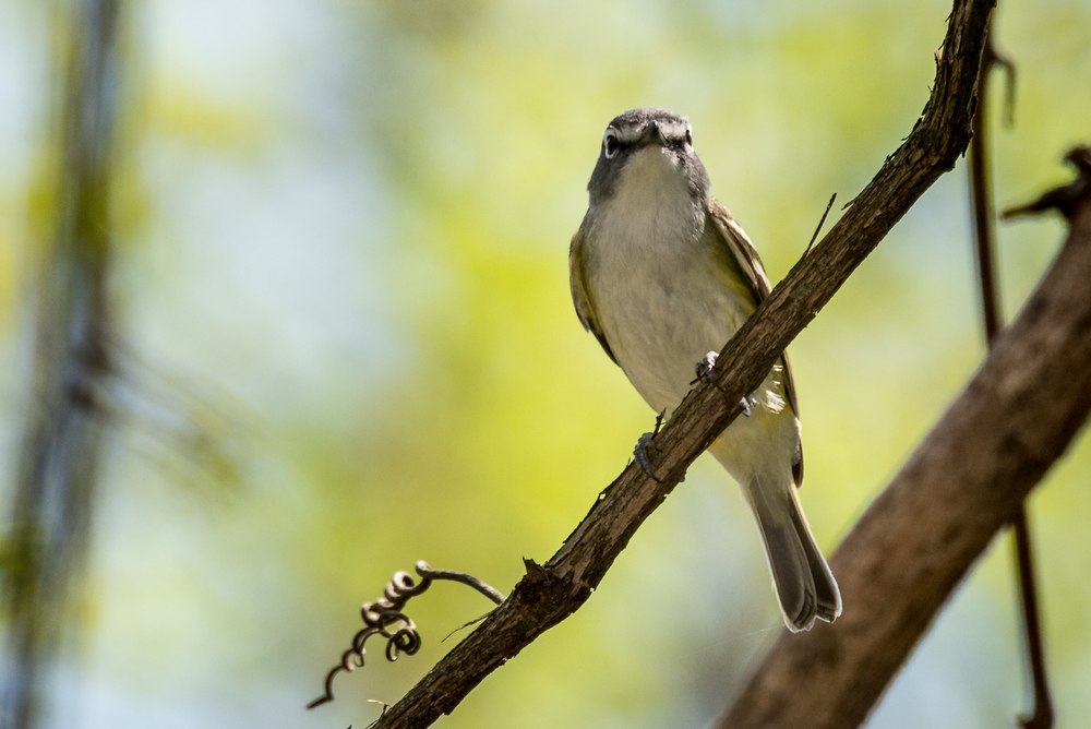 Blue-Headed Vireo  Nikon D750 ISO 640 600mm f/11 1/640 sec.