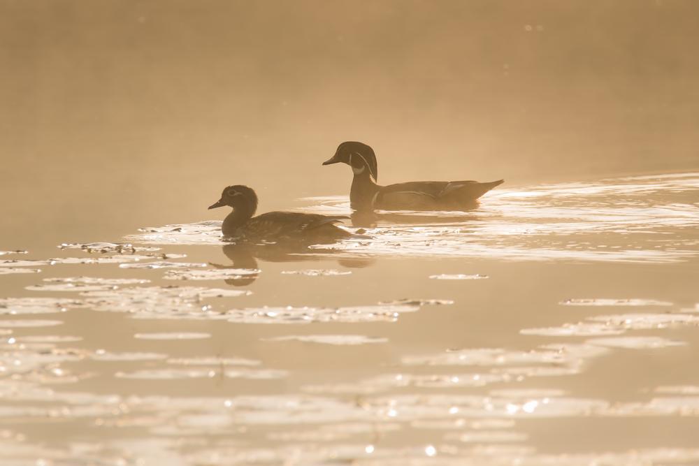 "Wood Ducks ""On Golden Pond""  Nikon D750 ISO 800 600mm f/9.0 1/1600 sec."