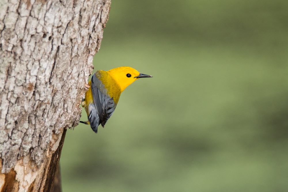 Prothonotary Warbler  Nikon D750 ISO 800 600mm f/8.0 1/250sec.