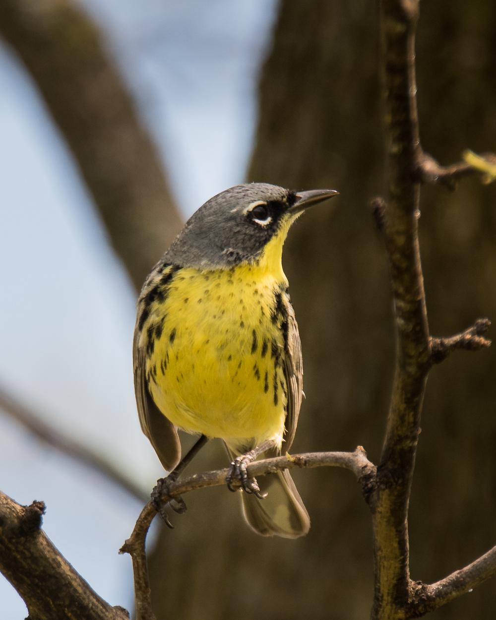 Kirkland's Warbler