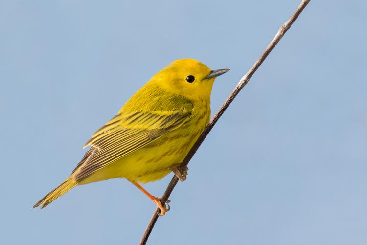Little Yellow Bird >> Little Yellow Birds In Trees Peter Bartlett