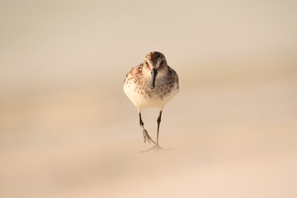 Semipalmated Sandpiper