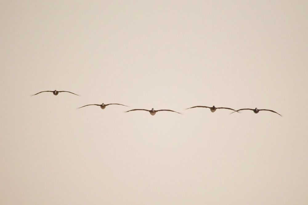 Brown Pelicans in formation