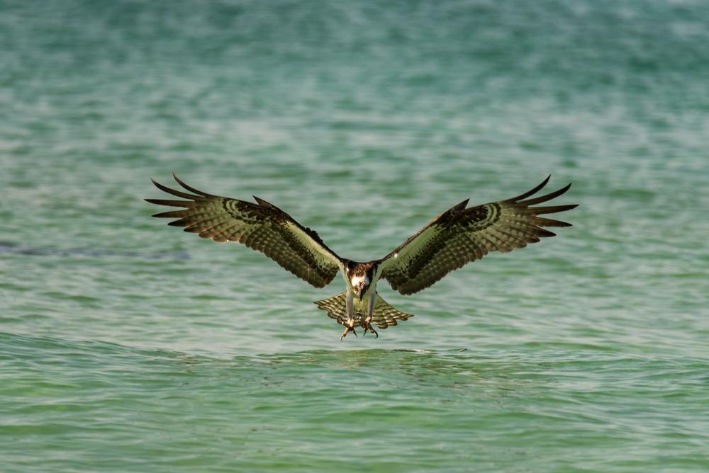 Diving for Dinner - Osprey