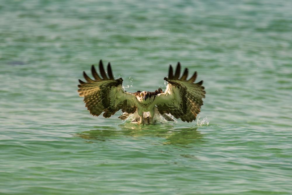 Osprey Strikes