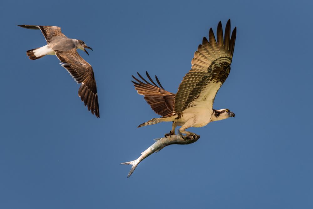 Osprey vs. Laughing Gull (Osprey Wins!)