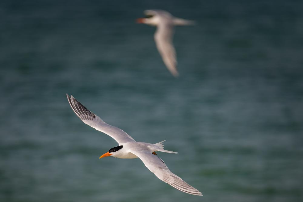 Royal Tern in Flight