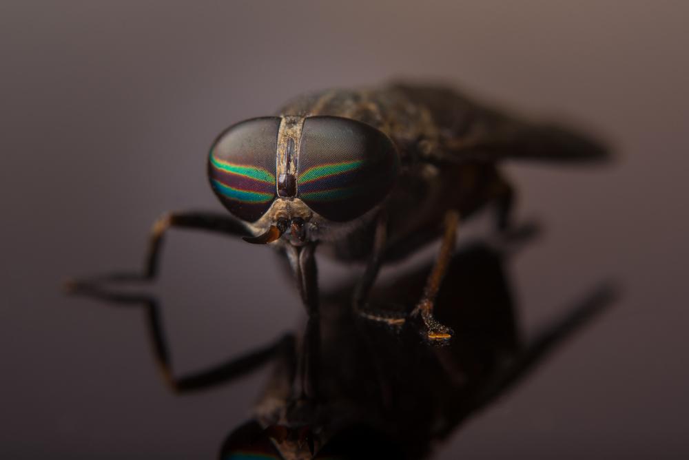 Horse Fly (Tabaninus)