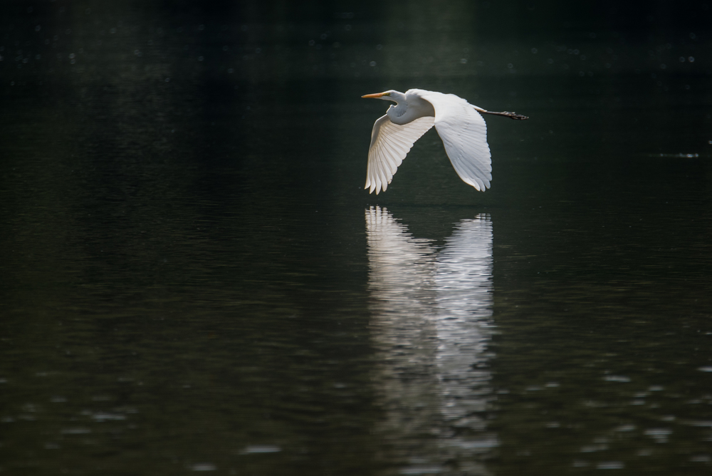 Great Egret - Huffman Metropark  Dayton, Ohio