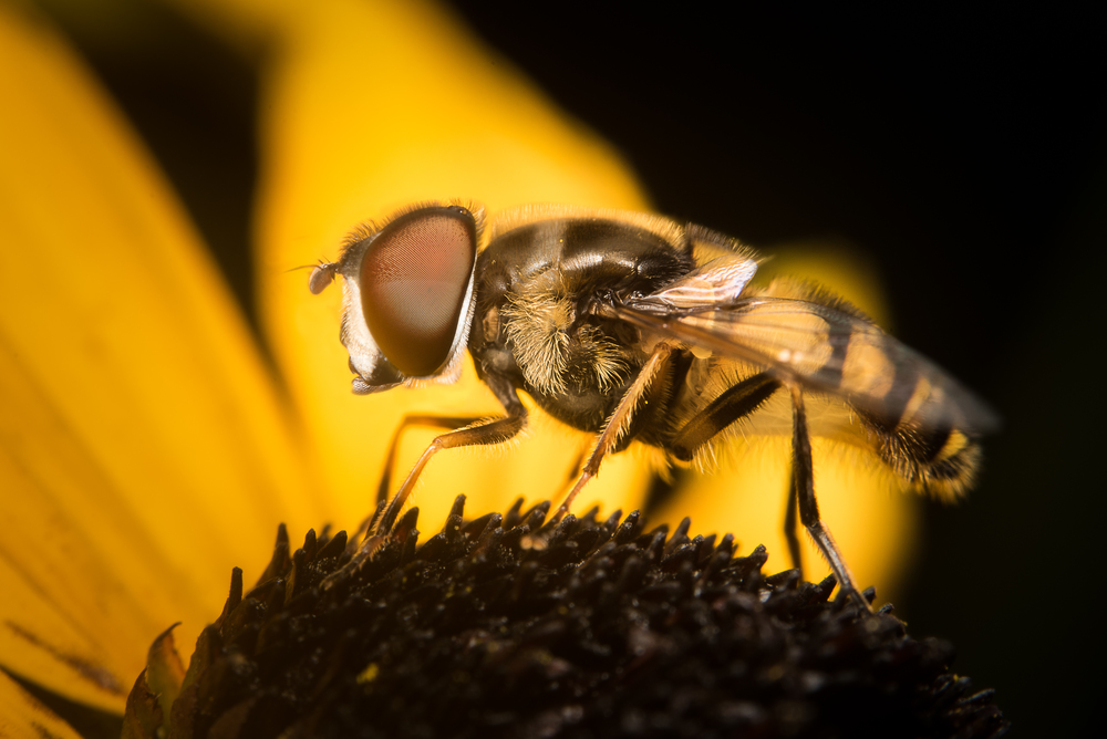 Hover Fly - Hills and Dales Metropark