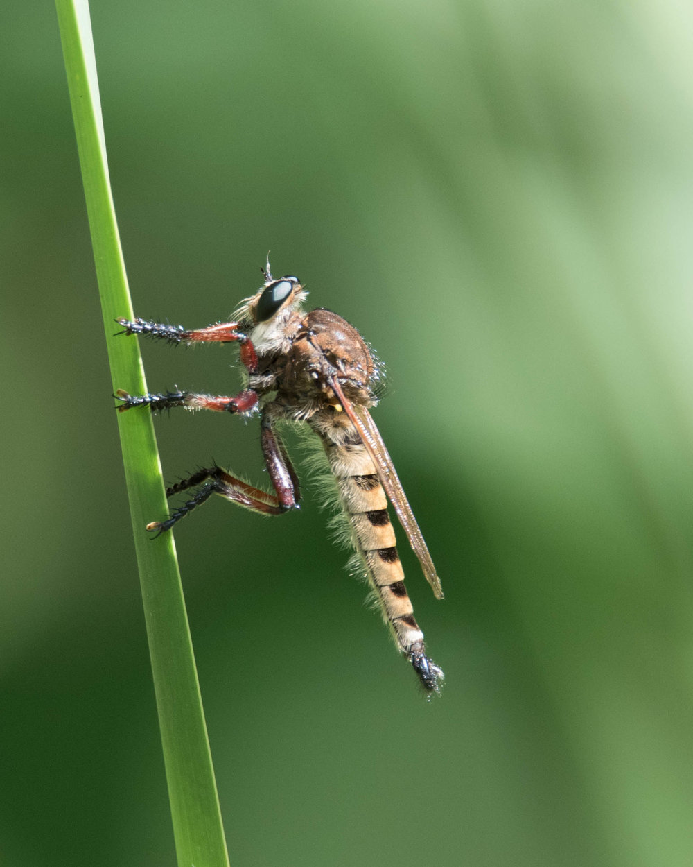 Robber Fly (shot at 600mm)
