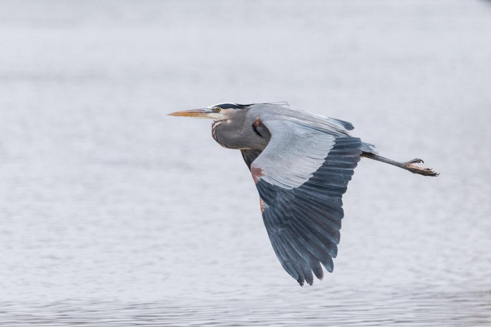 Great Blue Heron at Island Park Reservoir