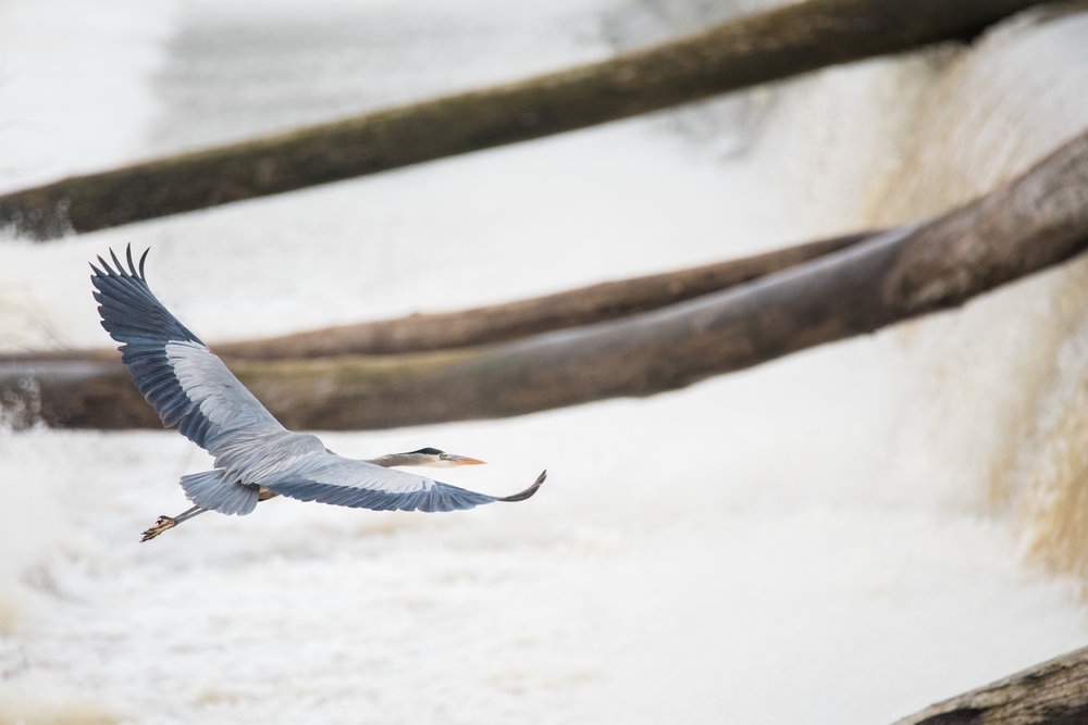 Great Blue Heron Over Spillway