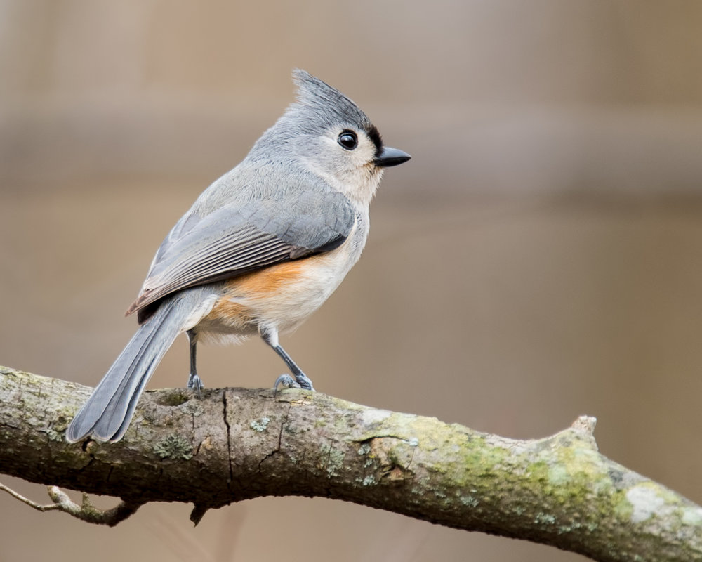 Tufted Titmouse - Hills and Dale Metro Park