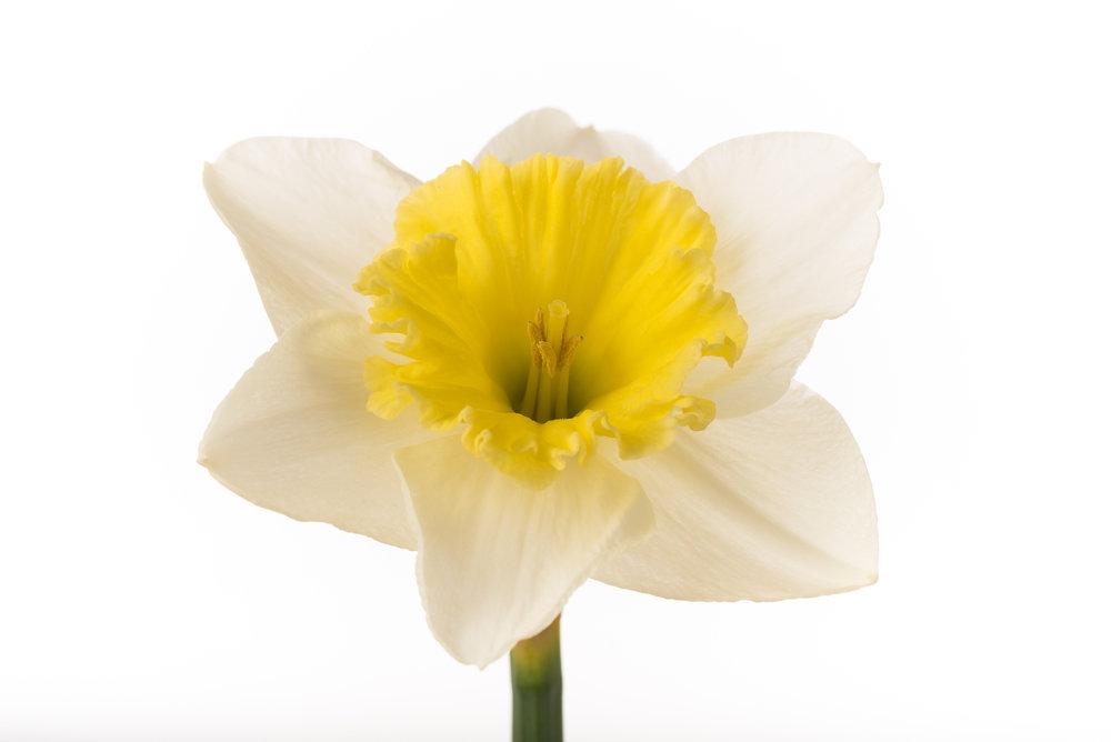 Narcissus 'Slim Whitman'