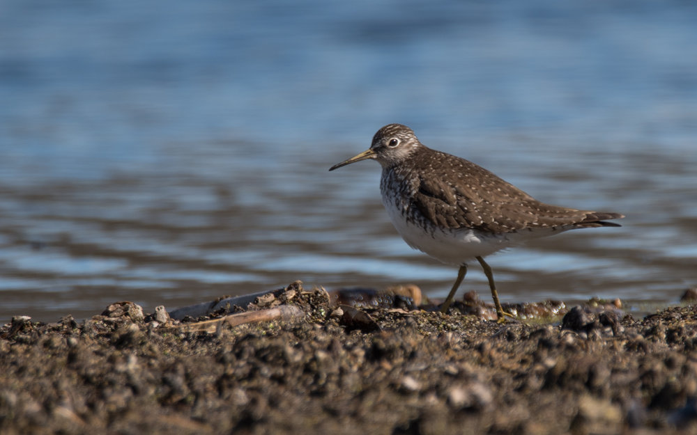 Solitary Sandpiper at Spring Valley Wild Area