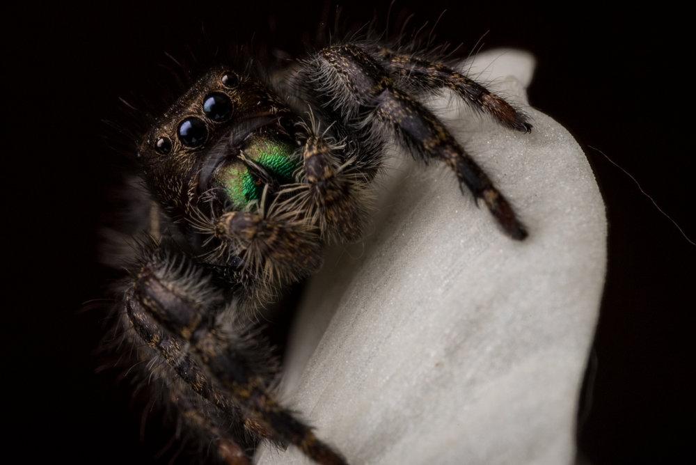 jumping spider raynox dcr-250