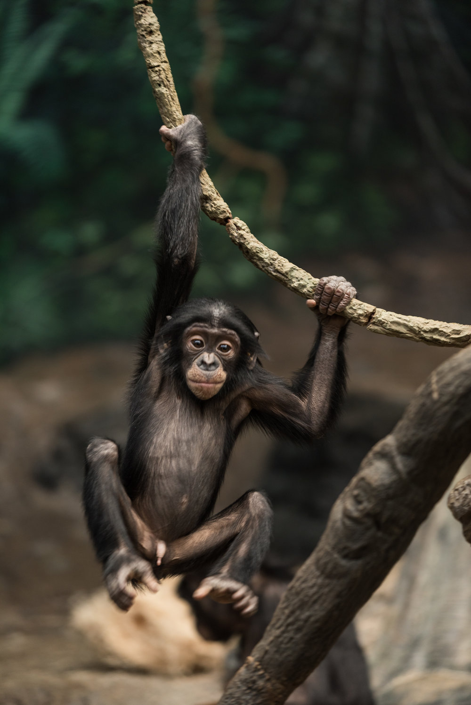 Juvinile Bonobo Cincinnati Zoo