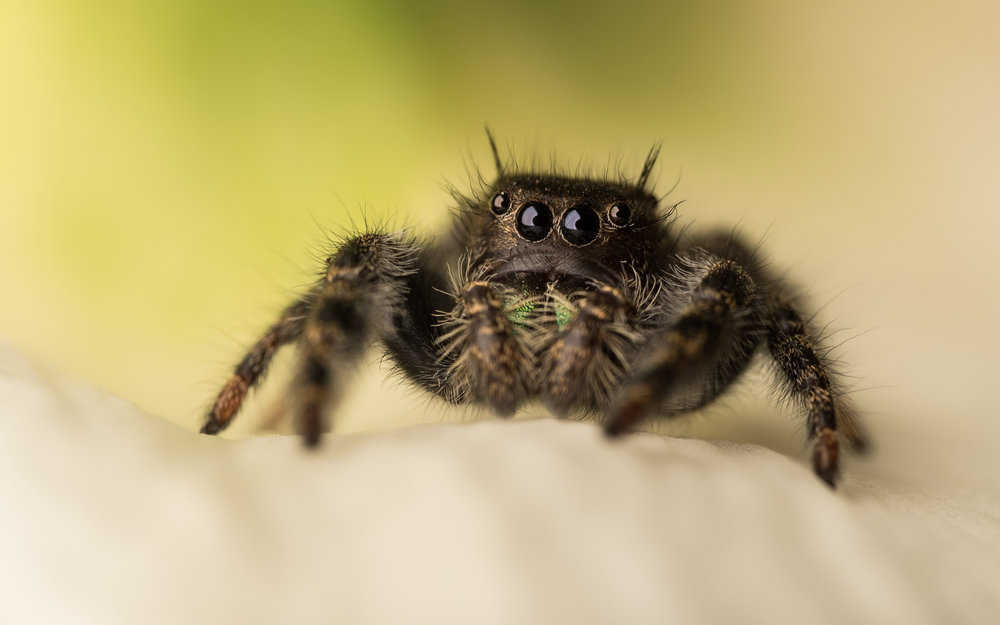 """The Bold"" Jumping Spider"