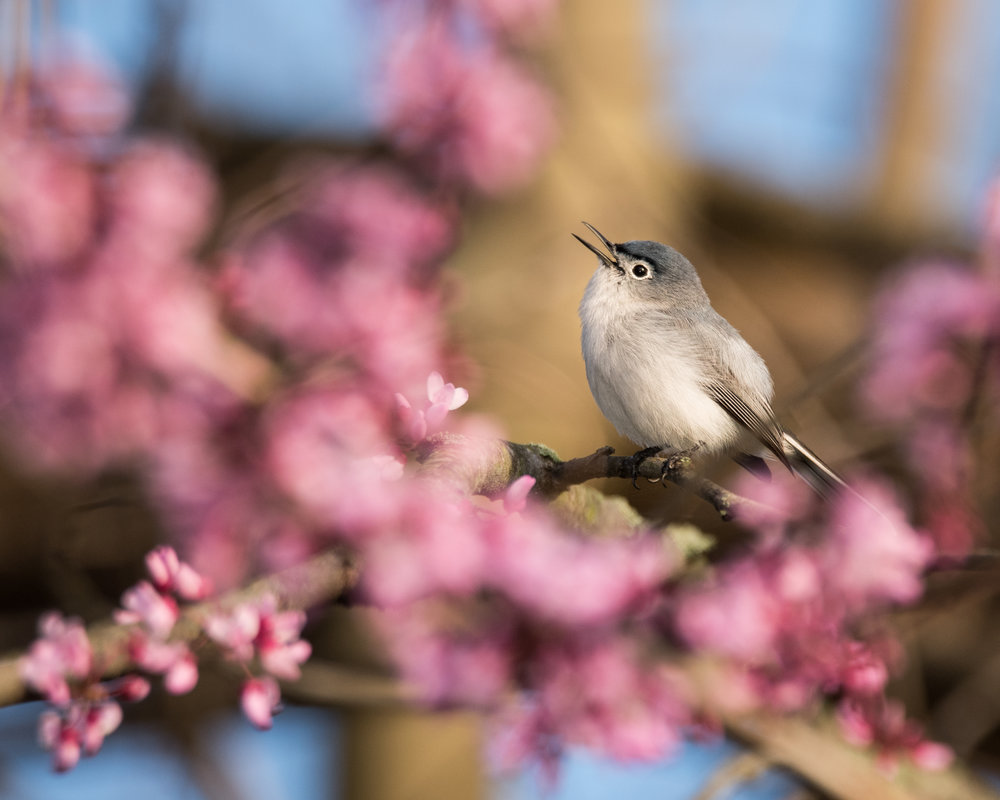 Blue-gray Gnatcatcher on Eastern Redbud