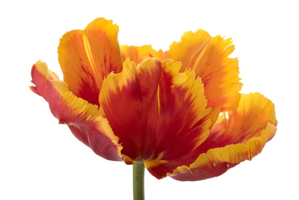 red orange parrot tulip