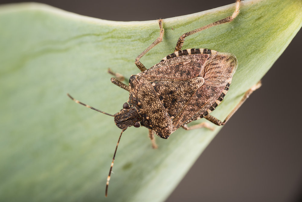 Shield Bug (Stink Bug)
